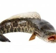 10 Manfaat Ikan Gabus Untuk Kesehatan