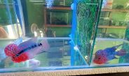 Rifqi Aquarium, pusat penjualan ikan hias terlengkap di Sendawar