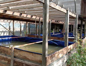 Atasi masalah benih ikan, pelaku usaha perikanan Kecamatan Penyinggahan Hasilkan ribuan benih ikan