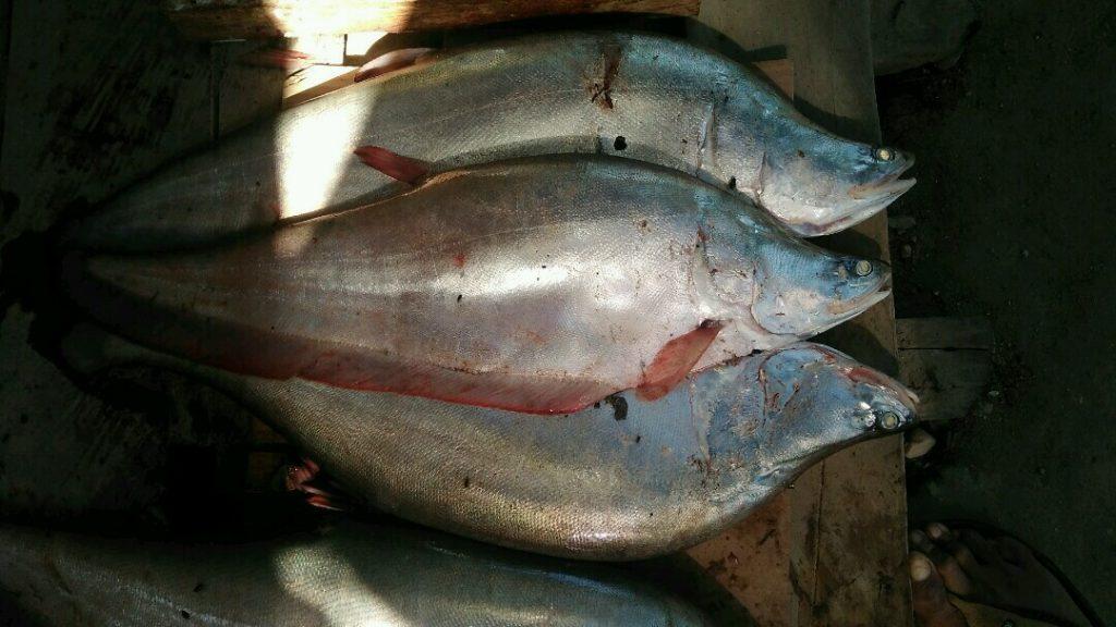 Ikan Belida, Si Pipih Bahan Baku Kerupuk Ikan