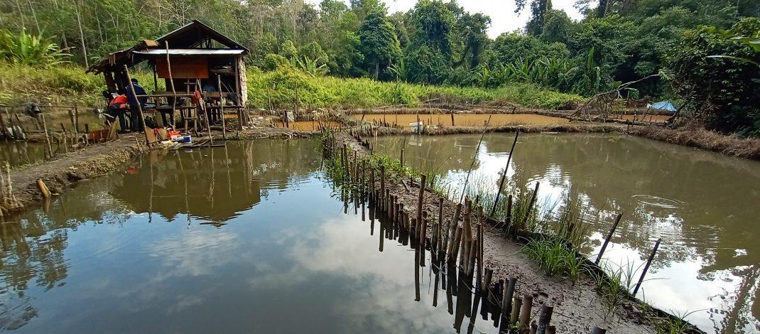Manfaatkan Sungai Miaq Kampung Ombau Asa, Kelompok Tani Miaq Sejahtera kembangkan Budidaya Ikan dalam Kolam