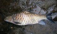 Ikan Savan/Tebelaq, Komoditas Perikanan Bernilai Ekonomi Tinggi